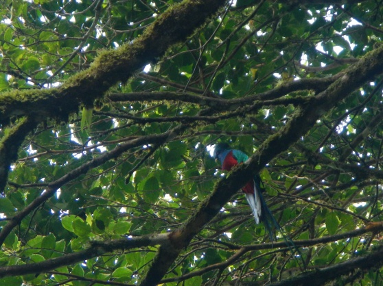 We saw the elusive Resplendant Quetzal!!  I didn't get the best picture of him out of my group, but you can still marvel at his beauty.